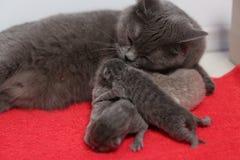 Britse Shorthair-moeder die haar babys voeden stock fotografie