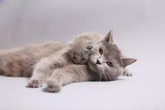 Britse Shorthair-moeder met haar katje Stock Foto