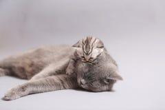 Britse Shorthair-moeder met haar katje Royalty-vrije Stock Afbeelding