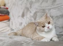 Britse shorthairkat met grote ogen stock foto