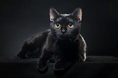 Britse zwarte kat Stock Foto