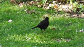 Britsh-Amsel, die für Nahrungsmittelnestmaterialien herumsucht, arbeitet Frühlingssommervögel im Garten stock footage