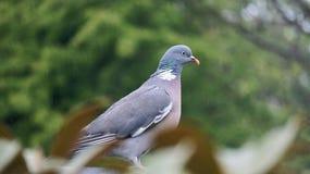 Britt dykt stor fågel Arkivfoto