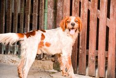 Brittany breed. Outdoor near a wooden wall Royalty Free Stock Photography