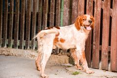 Brittany breed. Outdoor near a wooden wall Stock Photography