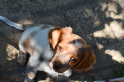 Brittany (breed) puppy Royalty Free Stock Photo
