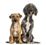 Brittany Briard crossbreed dog and jack russel sitting together Stock Photos