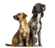 Brittany Briard crossbreed dog and jack russel sitting together Royalty Free Stock Images