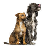 Brittany Briard crossbreed dog and jack russel sitting together Royalty Free Stock Photography