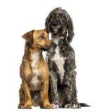 Brittany Briard crossbreed pies Russel siedzi wpólnie i dźwigarka zdjęcia royalty free