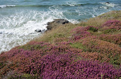 Brittany coast with pink heather in France Royalty Free Stock Photography