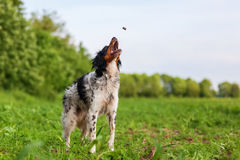 Brittany dog snatching for a treat Royalty Free Stock Photo