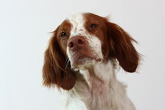 brittany hund som ser sidospanielen till Fotografering för Bildbyråer