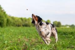 Brittany hund som snappar för en fest Royaltyfria Foton