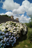 brittany husvanlig hortensia Royaltyfria Foton