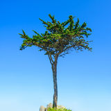 Brittany, Pine tree on blue sky background. France Royalty Free Stock Photography