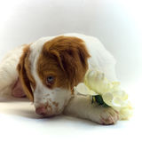 Brittany puppy with flower Stock Photos
