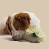 Brittany puppy with flower Royalty Free Stock Photos