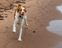 Brittany Running feliz na areia da praia no verão imagens de stock