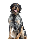 Brittany sitting and panting, isolated Royalty Free Stock Photos