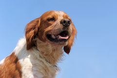 Brittany spaniel Royalty Free Stock Images