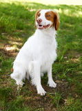 Brittany Spaniel Royalty Free Stock Photo