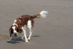 Brittany Spaniel Royalty Free Stock Photos