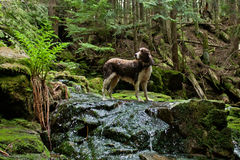 Brittany Spaniel. In a beautiful spring scene this dog stands on top of a small waterfall in a lush green forest Royalty Free Stock Image