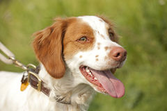 Brittany spaniel close up Stock Photos