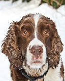 Brittany Spaniel. Closeup of a brittany spaniels face on a snowy hike Royalty Free Stock Images