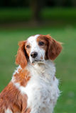 Brittany Spaniel dog. Portrait of Brittany spaniel dog with green nature background Stock Photos