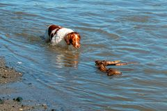 Brittany spaniel dog fetching stick at the mouth of the Santa Clara river and the Pacific ocean at Ventura California USA royalty free stock image