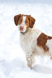 Brittany Spaniel. A Brittany Spaniel enjoying the snow Royalty Free Stock Image
