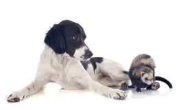 Brittany spaniel and ferret Royalty Free Stock Photo