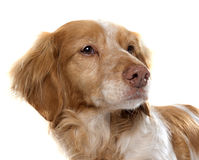Brittany Spaniel féminin Photographie stock