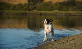 Brittany Spaniel hundspring längs kust Fotografering för Bildbyråer