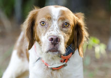 Brittany Spaniel hunting dog with safety orange tracking collar Stock Image
