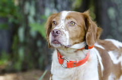 Brittany Spaniel hunting dog with safety orange tracking collar. Brittany Spaniel hunting dog with safety orange tracking shock collar. Animal Shelter outdoor Royalty Free Stock Photos