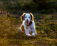 Brittany Spaniel Stock Photo