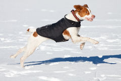 Brittany Spaniel. Playing on a frozen lake in the snow Stock Images