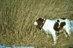 Brittany Spaniel on Point. A brittany spaniel pointing a well hidden pheasant Royalty Free Stock Photography