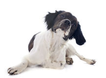 Brittany spaniel Stock Images