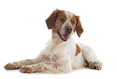 Brittany spaniel. Portrait of a brittany spaniel in front of white background stock photography