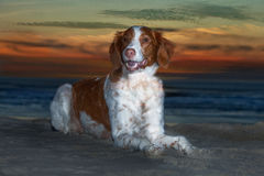 Brittany Spaniel at Sunset Stock Image