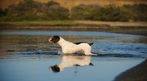 Brittany Spaniel walking through water. With reflection royalty free stock photos