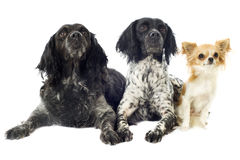 Brittany spaniels and chihuahua Stock Photography