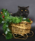 Brittish cat in a Christmas sleigh. Royalty Free Stock Images