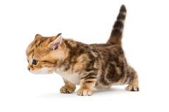 Brittisk avelmarmor för liten kattunge Arkivbilder