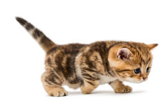 Brittisk avelmarmor för liten kattunge Arkivfoto