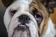 brittisk bulldogg Royaltyfri Foto